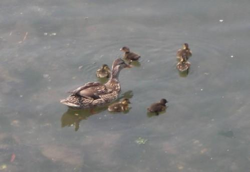 Duck_12
