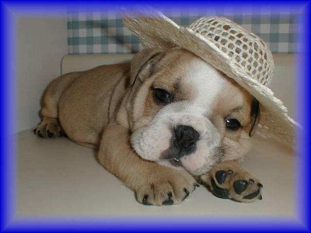 English_bulldog_puppy_1