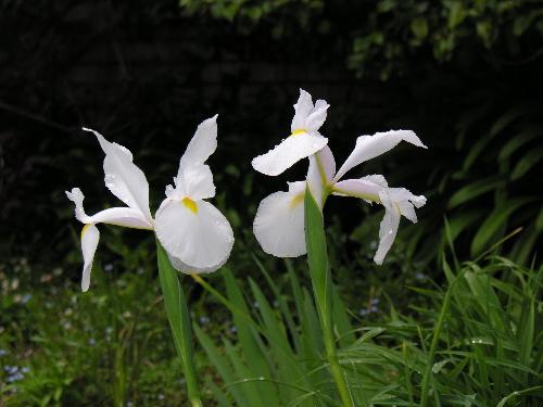 Iris4_1