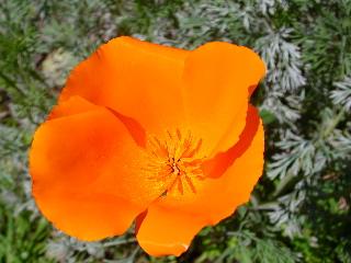 Poppy_8025