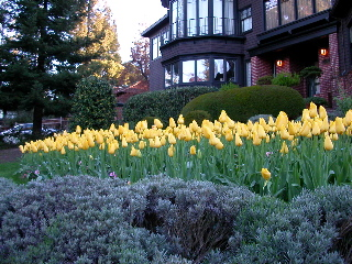 Tulips_8076
