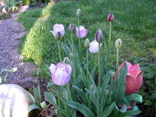 Tulips_8091